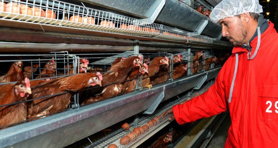 هل استهلاك الدجاج البياض ضار بالصحة؟