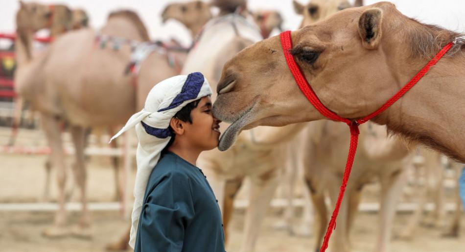 الإمارات .. مسابقات الجَمال تُشعل الطلب على استنساخ الإبل